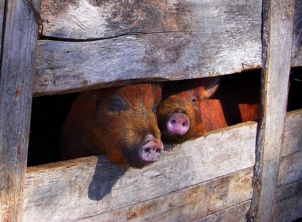 Schweinebürste gesucht? KrazzMaxx hat sie!