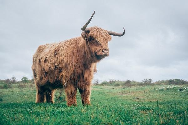 Easy Swing Kuhbürste - auch für Highland Rinder, Ponys oder Pferde geeignet
